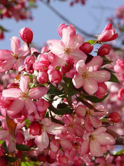 krabas,obuolys,krabų obuoliai,pavasaris,obuolių žiedas,Obuolių medis,gėlė,žydėti,rožinis,obelų žiedas,žiedas