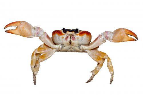 gyvūnas, vandens, gnybtas, kabliukas, krabas, padaras, maistas, izoliuotas, kojos, jūrų, gamta, raudona, jūros gėrybės, balta & nbsp, fonas, izoliuotas krabas