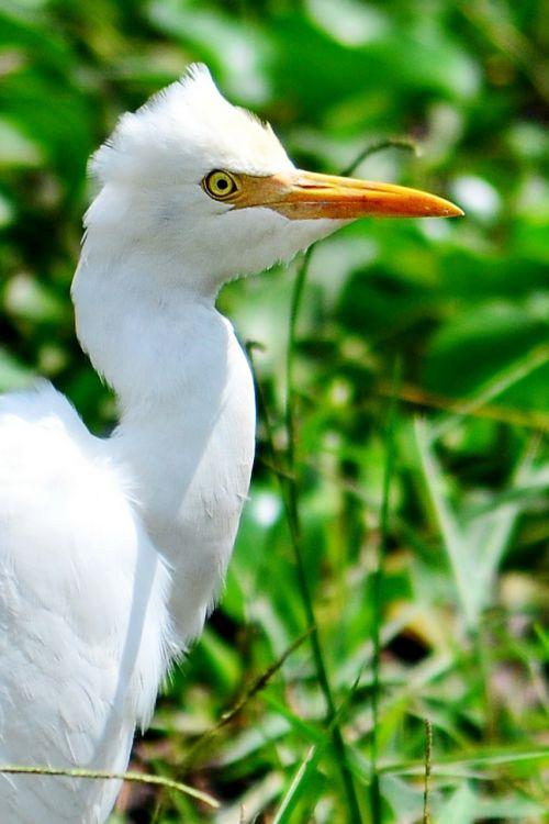 kranas,balta česnakai,snapas,geltonas snapas,laukimas,paukštis,paddy laukas,ežeras,maitinimas,Šri Lanka,nikawaratiya,ceilonas,laukinis gyvenimas