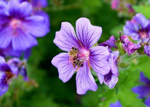 cranebill,bičių,pavasaris,žiedas,žydėti,nektaras,žiedadulkės,vabzdžių makro,augalas,vabzdys,Uždaryti,bičių žiedadulkės