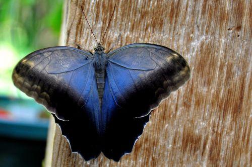 grietinėlės pelėda,drugelis,gamta,entomologija,antenos,kaligotas,Memnon,pelėda-drugelis,spalvinga,Uždaryti,vabzdys,lepidoptera,nektaras,fonas