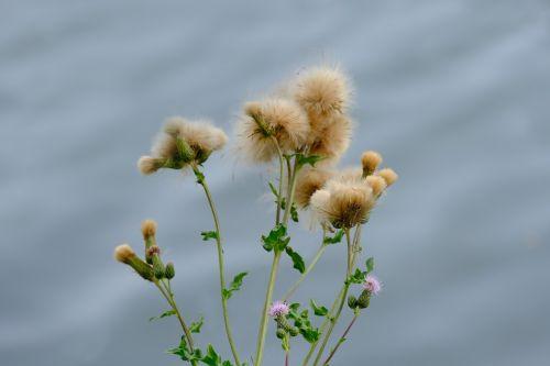 šliaužiantis dykumas,augalas,laukiniai,gamta,laukinė gėlė,pievų augalai,žalias,vasara,žydėti,laukinis augalas,Uždaryti,vanduo,žiedas,žydėti,gėlė,pieva,laukinė žolė,laukinės gėlės,žolė,flora,žolės,laukinės vasaros spalvos
