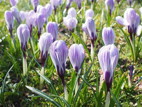 Crocus,gėlė,pavasaris,bühen,violetinė,violetinė,dryžuotas,spalvinga,žiedas,žydėti,pavasario gėlės,gėlės,Crocus vernus pickwick,Crocus pickwick,pikvikas,pavasario krokusas,Crocus vernus