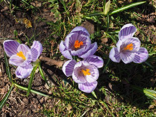 Crocus,gėlė,pavasaris,bühen,violetinė,violetinė,dryžuotas,spalvinga,žiedas,žydėti,pavasario gėlės,gėlės,Crocus vernus pickwick,Crocus pickwick,pikvikas,pavasario krokusas,Crocus vernus,pavasario šafranas