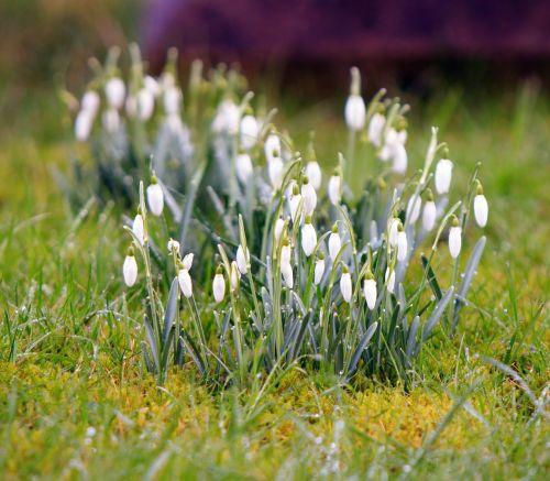 Crocus,gėlės,žiema,pavasaris,gamta,sezonas,augalas,balta,lauke,flora,žalias,žolė,anksti,šviežias,ledinis,Uždaryti