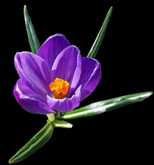 Crocus,gėlė,eksponuotos,pavasario augalai