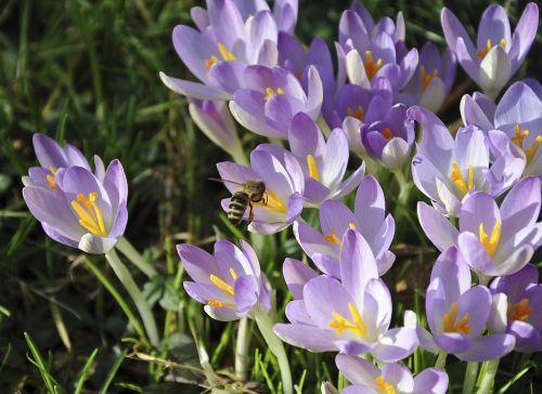 Crocus,bičių,gėlė,apdulkinimas,pavasario krokusas,violetinė,ankstyvas bloomer