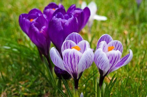 Crocus,gėlė,pavasaris,pavasario gėlė,žiedas,žydėti,violetinė,ankstyvas bloomer,bühen,Uždaryti,gamta,frühlingsanfang,sodas,pavasario krokusas,purpurinė gėlė,balta,pavasario pabudimas,žolė,žalias,žydėti,pieva,nuotaika,pavasario karščiavimas,pavasario pieva,gėlių pieva,pavasario požymiai,flora,augalas