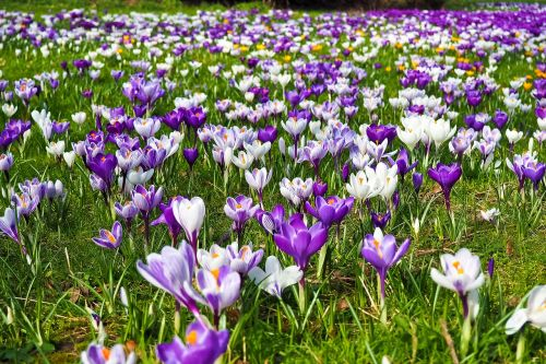 Crocus,gėlė,pavasaris,pavasario gėlė,žiedas,žydėti,violetinė,ankstyvas bloomer,bühen,Uždaryti,gamta,frühlingsanfang,sodas,pavasario krokusas,purpurinė gėlė,balta,pavasario pabudimas,žolė,žalias,žydėti,pieva,nuotaika,pavasario karščiavimas,pavasario pieva,gėlių pieva,pavasario požymiai,flora,augalas,rožinis,rožinis augalas,gėlės,šviesus,rožinės gėlės,farbenpracht,spalva,violetinė,gražus,žiedynas