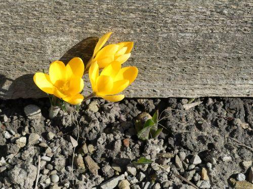 Crocus,žydėti,žemė,sausas,gyventi,geltona,pavasaris,gyvybingumas,nori gyventi,frühlingsanfang