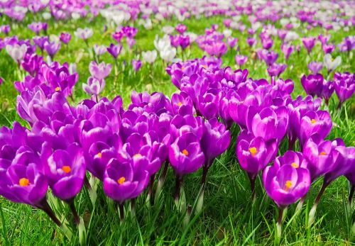 Crocus,gėlė,pavasaris,pavasario gėlė,žiedas,žydėti,violetinė,ankstyvas bloomer,bühen,Uždaryti,gamta,frühlingsanfang,sodas,pavasario krokusas,purpurinė gėlė,balta,pavasario pabudimas,žolė,žalias,žydėti,pieva,nuotaika,pavasario karščiavimas,pavasario pieva,gėlių pieva,pavasario požymiai,flora,augalas,šviesus,saulės gėlė,rožinis,rožinis augalas,gėlės,vasaros pradžia,farbenpracht,gražus,antspaudas,violetinė,spalva,spalvinga,dekoratyvinis augalas,mėlynas