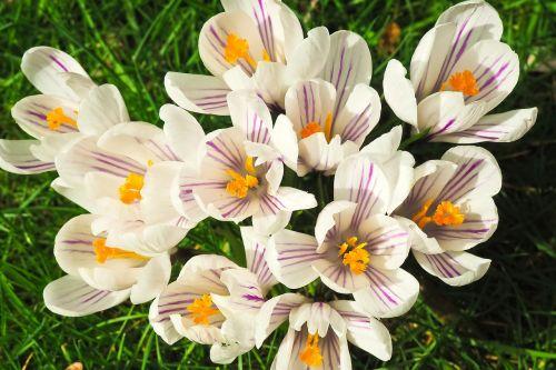 Crocus,gėlė,pavasaris,pavasario gėlė,žiedas,žydėti,ankstyvas bloomer,bühen,Uždaryti,gamta,frühlingsanfang,sodas,pavasario krokusas,balta,pavasario pabudimas,žolė,žalias,žydėti,pieva,nuotaika,pavasario karščiavimas,pavasario pieva,gėlių pieva,pavasario požymiai,flora,augalas,šviesus,saulės gėlė,gėlės,vasaros pradžia,farbenpracht,gražus,antspaudas,spalva,spalvinga,dekoratyvinis augalas,geltona