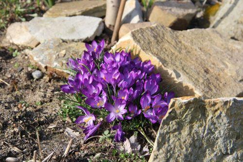Crocus,pavasario gėlės,pavasaris,gėlės,ankstyvas bloomer,sodas,violetinė,frühlingsanfang,purpurinė gėlė,pavasario pabudimas,pieva,schwertliliengewaechs,pavasario pranašys,Uždaryti,frühlingsblüher,pavasario pieva,saulėtas,pavasario krokusas,žalia zona,violetinė,gamta,gėlių jūra,žydėti,augalas