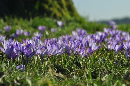 Crocus,violetinė,zavelstein crocus gėlė,Juodasis miškas,pavasaris,Velykos