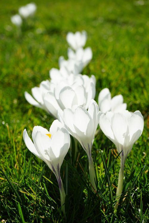 Crocus,gėlės,augalas,pavasaris,frühlingsblüher,balta,schwertliliengewaechs,iridaceae,dekoratyvinis augalas,šviesus,spalvinga,spalva,švyti per,šviesa,gėlių,eilėje ir narys,spalvinga,žydėti,serijos