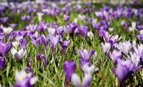 Crocus, pavasaris, gėlės, žydėti, pieva, gamta, violetinė, balta, violetinė, ankstyvas bloomer, krokodilinis pievas, gėlių jūra, frühlingsblüher, pilnai žydėti, pavasario pieva, frühlingsanfang, pavasario pradžia, pavasario krokusas, augalas, pavasario gėlė, pavasario pranašys, spalvinga, lenz, be honoraro mokesčio