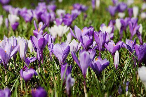 Crocus, pavasaris, gėlės, žydėti, pieva, gamta, violetinė, balta, violetinė, ankstyvas bloomer, krokodilinis pievas, gėlių jūra, frühlingsblüher, pilnai žydėti, pavasario pieva, frühlingsanfang, pavasario pradžia, pavasario krokusas, augalas, pavasario gėlė, pavasario pranašys, spalvinga, be honoraro mokesčio