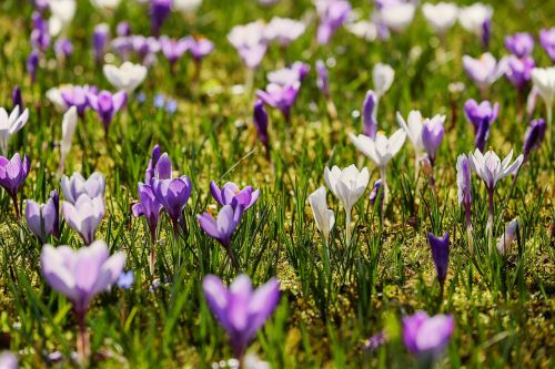 Crocus, atgal šviesa, saulės šviesa, gėlės, žydėti, violetinė, violetinė, balta, augalas, pavasario gėlė, krokodilinis pievas, gėlių jūra, ankstyvas bloomer, pilnai žydėti, pavasario pieva, frühlingsanfang, pavasario pradžia, pavasario krokusas, pavasario pranašys, spalvinga, be honoraro mokesčio