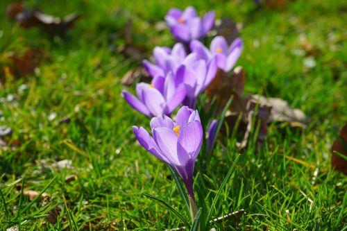 Crocus,eilėje ir narys,serijos,eilėje,gėlės,augalas,pavasaris,frühlingsblüher,violetinė,violetinė,schwertliliengewaechs,iridaceae,dekoratyvinis augalas