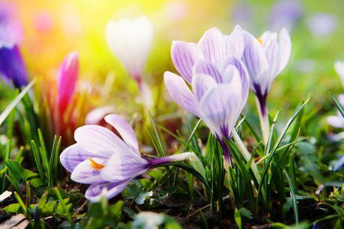 Crocus,žiedas,žydėti,pavasaris,gėlė,balta,pavasario gėlė,Uždaryti,pilnai žydėti,žydėti,augalas,spalvinga,spalva,saulės šviesa,pieva,sodas,frühlingsanfang,žolė,flora,švelnus