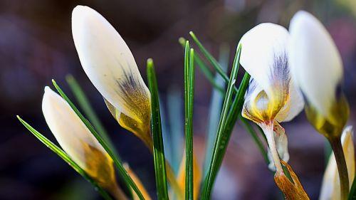 Crocus,Crocus gėlė,balta,pavasaris,svogūninės gėlės