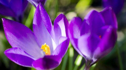 Crocus,Crocus gėlė,violetinė,pavasaris,svogūninės gėlės