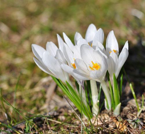 Crocus,gėlė,gėlės,balta,augalas,aštraus gėlė,laukinė gėlė,pavasario gėlė,frühbote,ankstyvas bloomer,gamta,pieva,Uždaryti