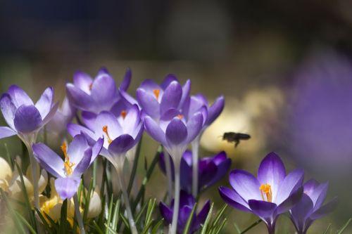 Crocus,schwertliliengewaechs,pavasario krokusas,gėlės,žiedas,žydėti,gėlė,flora,žydėti,gamta,violetinė,bičių,pabarstyti,hum,pavasaris,lenz