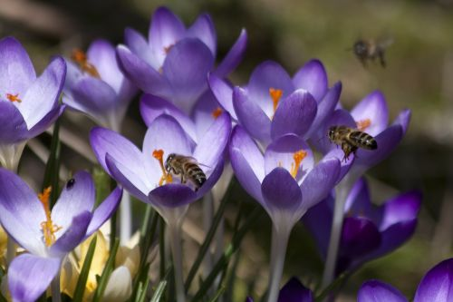 Crocus,schwertliliengewaechs,pavasario krokusas,gėlės,žiedas,žydėti,gėlė,flora,žydėti,gamta,violetinė,bitės,pabarstyti,hum,pavasaris,lenz