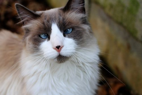 ragdoll & nbsp, katė, kryžius & nbsp, eyed & nbsp, katė, mėlynas & nbsp, eyed & nbsp, katinas, kačių, katė, kryžiaus akimis katinas