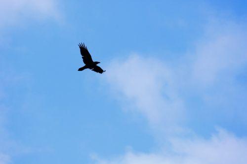 varna,juoda,mėlynas,dangus,debesys,kontrastas,varnas paukštis,paukštis,Varnas,skristi,plunksna,sąskaitą,juoda paukštis,gyvūnas,gamtos pasaulis