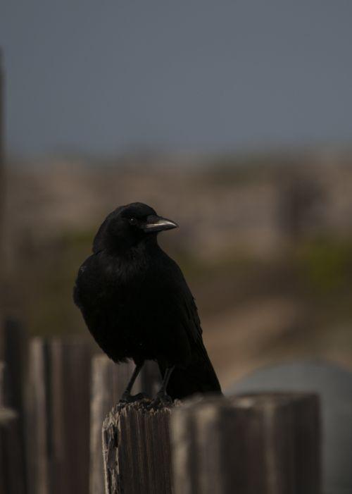 paukštis, paukščiai, laukinė gamta, varna, varnos, juoda, juoda & nbsp, paukštis, juoda & nbsp, paukščiai, siluetas, sėdi, paštas & nbsp, nemokamas, viešasis & nbsp, domenas, juoda & nbsp, balta, meno, tapybos, varna