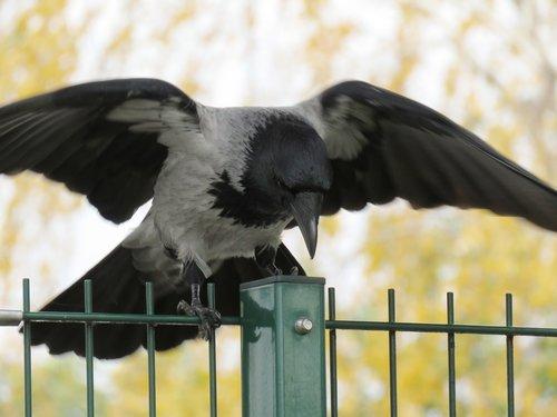 varna, Varnas, Raven paukštis, plunksna, skraidantis, pobūdį, Gyvūnijos pasaulyje, Zgniły tiesia, neutralizatorių, tvora, sparnas, juodas paukštis, plunksnos, Bill, gyvūnas, juodos spalvos, paukštis, sėdėti, bendri varnas, skrydis, paukštis vadovas, galva