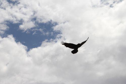 varna,Varnas,paukštis,dangus,siluetas,juoda,sparnas,plunksna,skrydis,mirtis,flock,velnias,juoda paukštis,baisu,gyvūnas,snapas,laukiniai,paukštis,caw,baugus,lauke,kabliukas,prievartautojas,žiūrėti