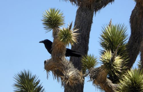 dykuma, kaktusas, kaktusai, varna, juoda & nbsp, paukštis, kryžių kaktusas