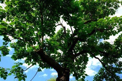 karūna,medis,gamta,dangus,estetinis,trejetas,lapai,filialai,parkas,lapija,vasara,aukštas,mažas kampas,viršuje,Uždaryti,žalias