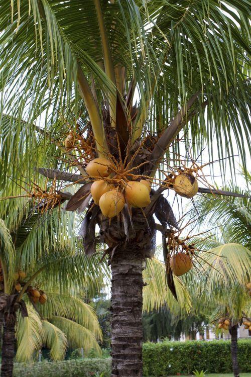 Kuba,atogrąžų,vasara,atostogos,šventė,gamta,kurortas,tropinis,egzotiškas,medis,delnas,kokoso,papludimys,augalas,sala,kraštovaizdis
