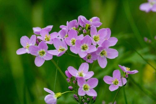 pievinė kartenė, Polne, palaidinis, kortelių aminai pratensis, gėlė, pobūdį, laukas, žolė, augalų, meadow, kryžmažiedžių, žolė ribotas, vaistinis augalas, žalias, violetinė, wildwachsend, Cardamine, šviesiai violetinė, švelnus