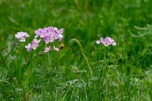 pievinė kartenė, kortelių aminai pratensis, gėlė, pobūdį, laukas, žolė, augalų, meadow, kryžmažiedžių, žolė ribotas, vaistinis augalas, žalias, violetinė, Polne, wildwachsend, Cardamine, palaidinis, smailu gėlė