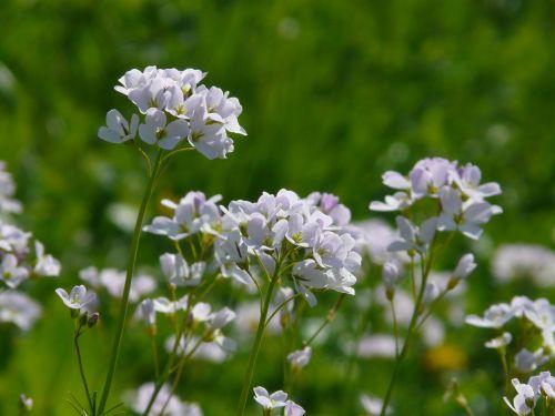gegutė,kardaminas,kryžmažiški augalai,gėlė,žydėti,žiedas,žydėti,violetinė,augalas,gamta,flora,gražus