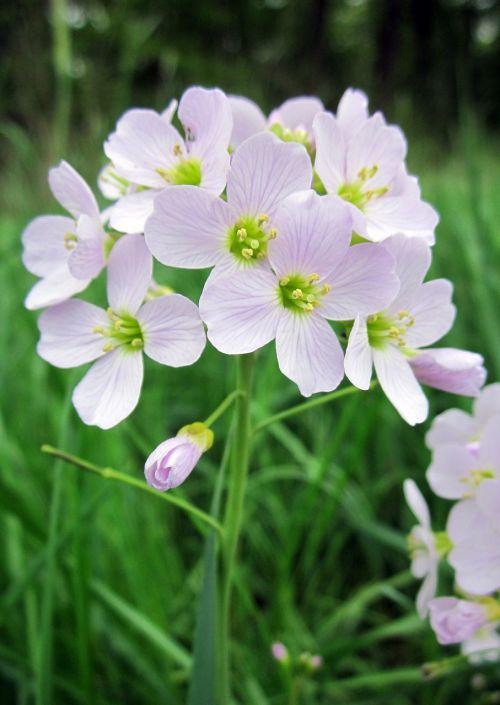 gegutė,gėlė,mayflower,laukiniai,kardaminas,pratensis,smock,gegutė,augalas,gamta,balta,flora,Ladys,pavasaris,wildflower,rožinis,žydėti,pieva,žydėjimas,violetinė,kresas,žolė,botanika,ladys