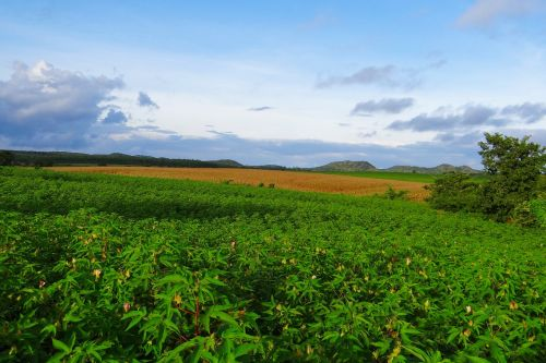 auginimas,medvilnė,kukurūzai,Žemdirbystė,farmin,laukas,pasėlių,kraštovaizdis,dangus,mundgod,Karnataka,Indija