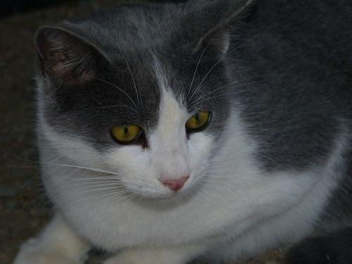 mielas,katė,kačių veido,naminis gyvūnėlis,katės akys,gyvūnas,pilka katė