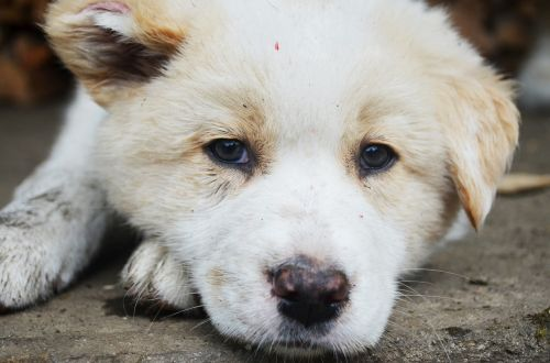 mielas,žavinga,gyvūnas,šuo,šuniukas,mielas šuniukas,mielas šuo,mielas baltas šuniukas,naminis gyvūnėlis,vidaus,saldus,mielas baltas nešvarus šuniukas,mielas baltas nešvarus šuo,mielas purvinas šuo,mielas purvinas šuniukas