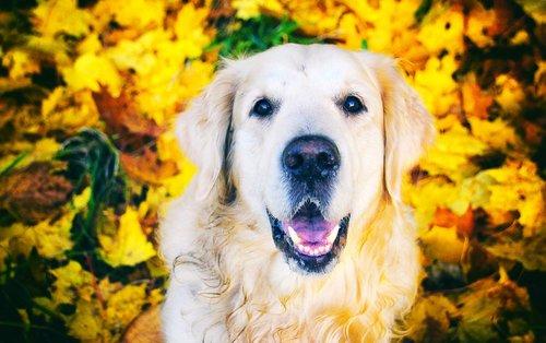mielas, portretas, šuo, augintinė, gyvūnai, jauna, retriveris, pobūdį, veisti, raudona šuo, nosis, šuo atrodo, šuo šypsena, Auksaspalvis retriveris, ruduo