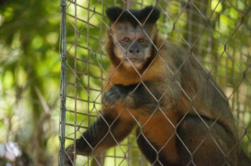 beždžionė, beždžionės, žinduolis, zoologijos sodas, gyvūnas, laukinė gamta, mielas, mielas beždžionė