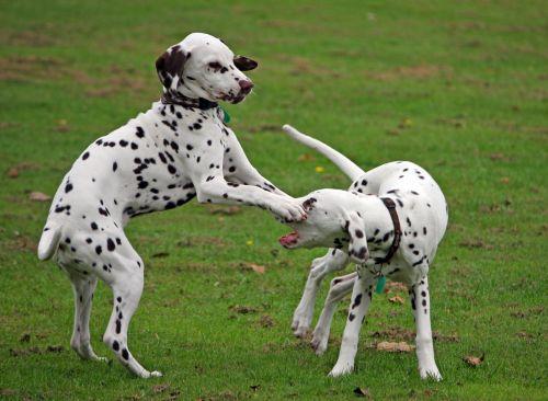 Dalmatian, dalmatianai, šuniukai, šuniukas, šuniukai, šuniukas, šuo, šunys, du, mielas, žavinga, žaisti, linksma, žaidimas, šunys, naminis gyvūnėlis, gyvūnas, lauke, žalias, žolė, nuotrauka, vaizdas, mieli šuniukai žaidžia