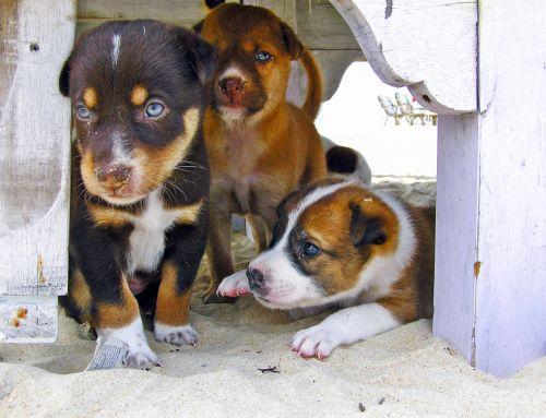 šuniukai, šuniukas, papludimys, šuo, mielas, gyvūnas, naminis gyvūnėlis, šunys, žavinga, šuniukas, žinduolis, portretas, mažas, šunys, vidaus, ruda, draugas, jaunas, kūdikis, sėdi, mažai, mielas & nbsp, šuniukas, linksma, laimingas, Draugystė, kailis, pūkuotas, linksmas, žaismingas, mielas, saldus, draugai, mieli šuniukai