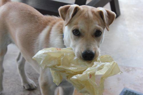 plastiko & nbsp, maišas, šuniukas, gyvūnas, mielas, žavinga, graži, plastmasinis, mielas šuniukas
