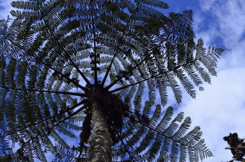 cyatea,medžio šerdis,montane miškas,Perujos biologinė įvairovė,Peru amazonės biologinė įvairovė